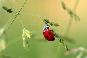 Marienkäfer an Pflanze